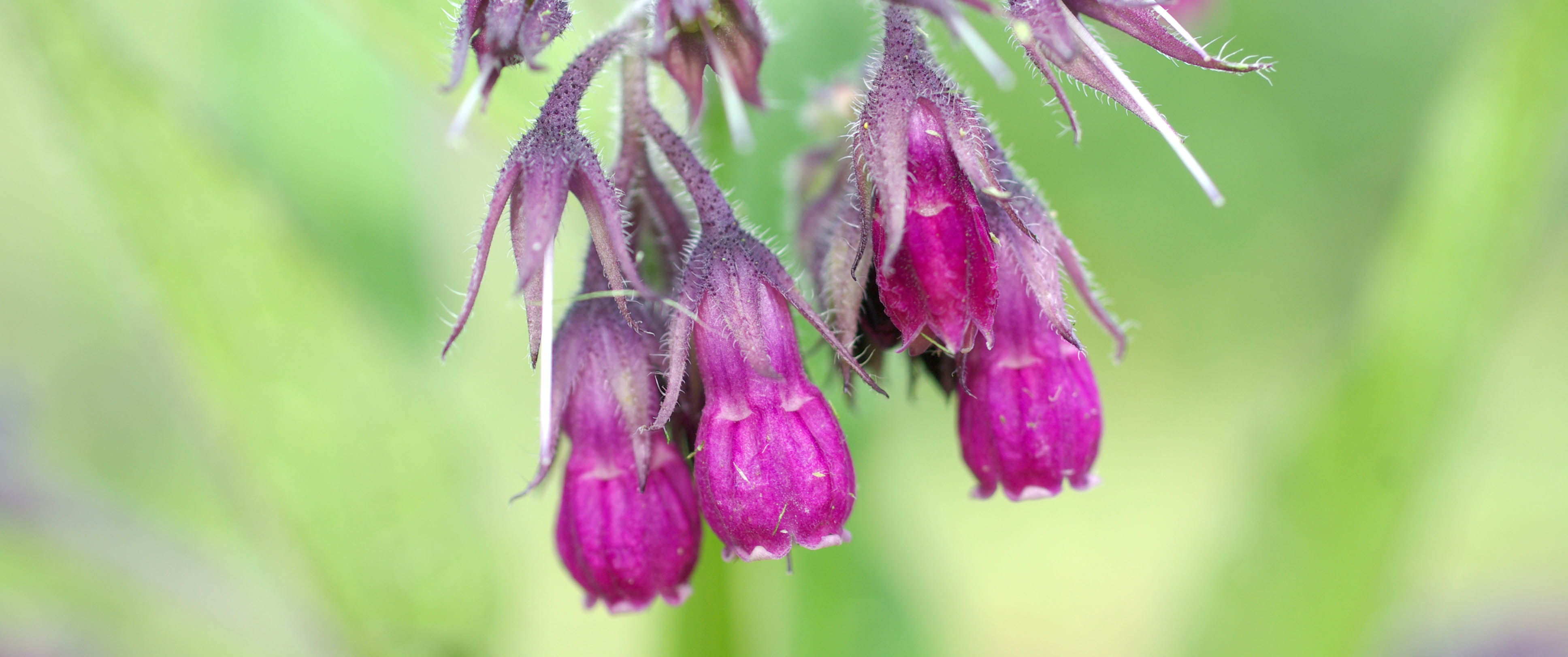 True Comfrey Flowers