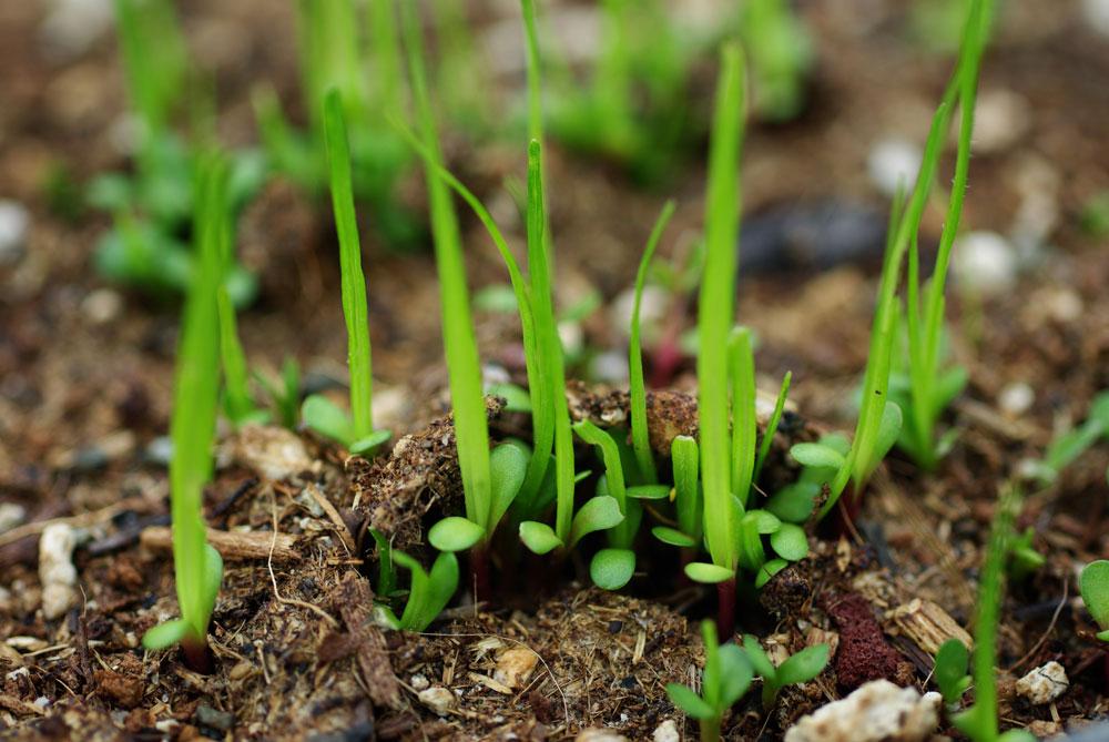 Echinacea angustifolia Seed Germination