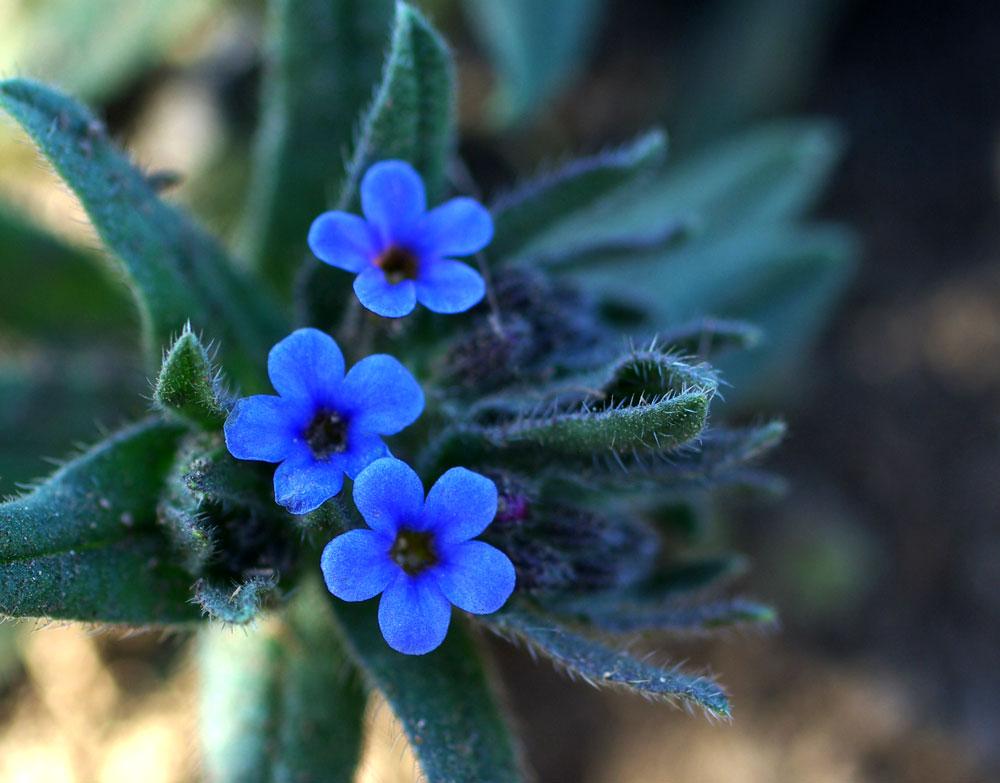 Alkanna_tinctoria_flowers